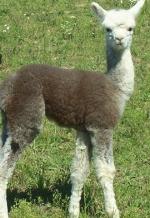 Alpacas will be on display at the Alpaca Farm Day Celebration on Saturday, Sept. 26, at Michel Century Farm.