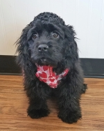 Lilly Anne, a 6-month-old cocker spaniel at Lilly Bear's Rescue, in Warren, has been diagnosed with an intrahepatic liver shunt, a condition which will require surgery.  The rescue  is holding a chili cook-off on Sunday, Feb. 24, to raise funds for the surgery.