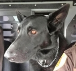 Zeek, the Huntington County Sheriff's Department K-9 officer, is in the running for a grant to be awarded through online voting.