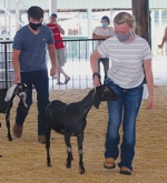 Nubian senior kid goats make their way around the show arena with their 4-H'ers (from left) Ben Johnson and Lola Ann Smith during the Huntington County 4-H Goat Show on Sunday morning, July 26.