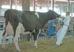 Zane Wygant tries to lead a reluctant cow around the show ring during the 4-H Dairy Show Saturday, July 24, at Hier's Park. Wygant won senior champion Grade Holstein.