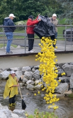 Roanoke Lions Club members dump plastic ducks into the creek at the Roanoke Park to start the Roanoke Fall Festival Ducky Run last year. This year's event takes place Saturday, Sept. 7, starting at 5 p.m.
