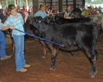 Deandra Wygant tries to keep her beef calf happy during the Huntington County 4-H Fair Starter Calf Show on Wednesday, July 28.