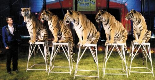 Ryan Holder and his team of tigers will perform as part of the Kelly Miller Bros. Circus, which will stage two shows — at 2 p.m. and 5:30 p.m. — on Saturday, May 11, at Roanoke Park. The circus is sponsored by American Legion Post 160.