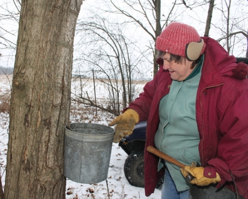Deloris Smith hangs a 10-quart metal bucket on a spigot that has been freshly driven into the side of a maple tree on Tuesday, Feb. 16. When the sap begins to run, the trees can fill the bucket, sometimes spilling over with the sweet, watery substance, which will be boiled down to make syrup.