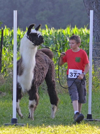 Zachary Tolen gently leads his llama entry through the Woodland Obstacle course during the 4-H llama show on Monday, July 15 at the Chief LaFontaine Saddle Club.