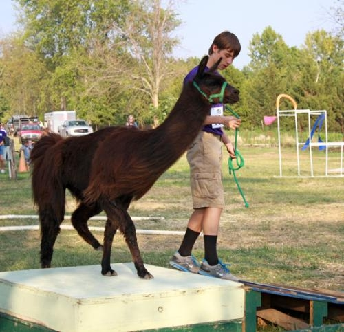 David Prather and his llama successfully make it over another barrier at the public relations obstacle course during the Huntington County 4-H Llama Show on Monday, July 16, at the Chief LaFontaine Saddle Club.